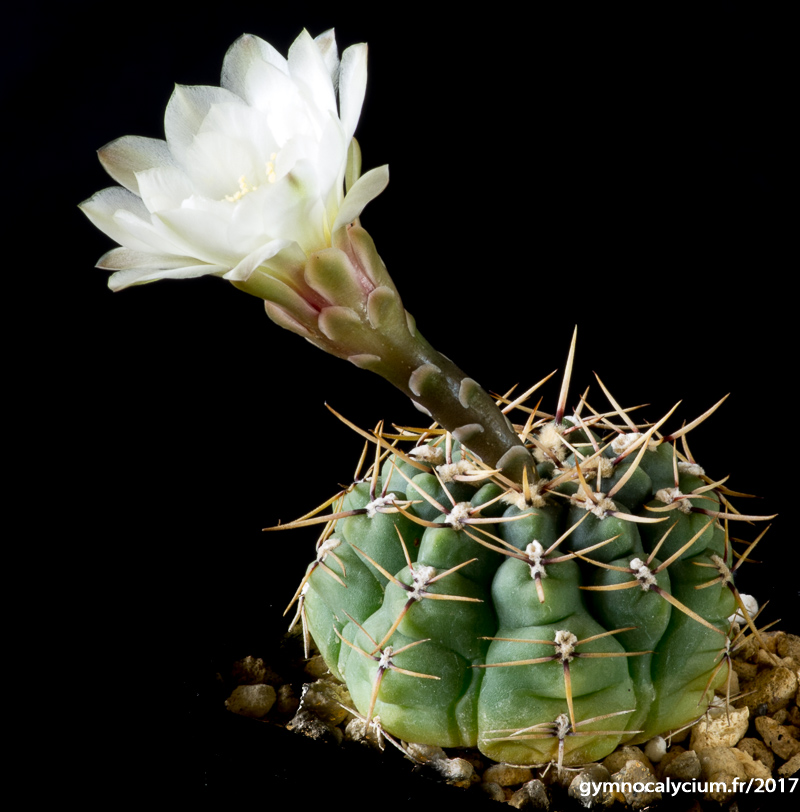 Gymnocalycium platense ssp paucicostatum (Gymnocalycium schroederianum ssp paucicostatum) LB 960. Même sujet à 10 ans.