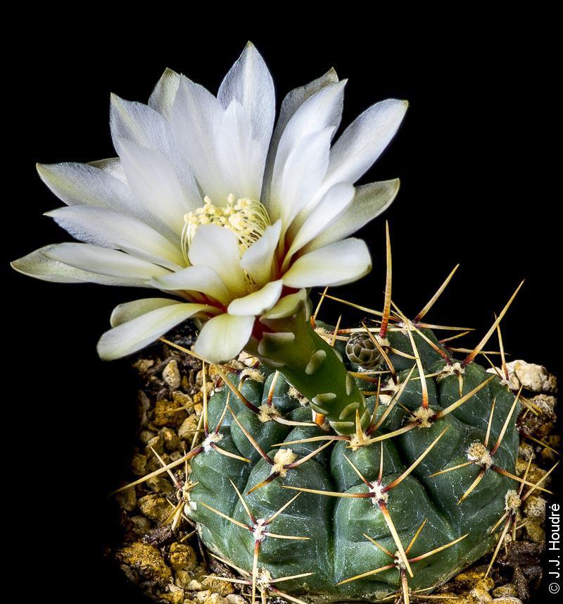 Gymnocalycium schroederianum ssp schroederianum (ssp paucicostatum LB 960)