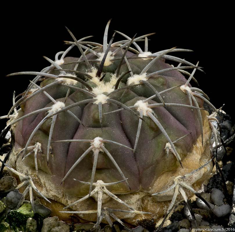 Gymnocalycium spegazzinii. Origine P. Richaud.