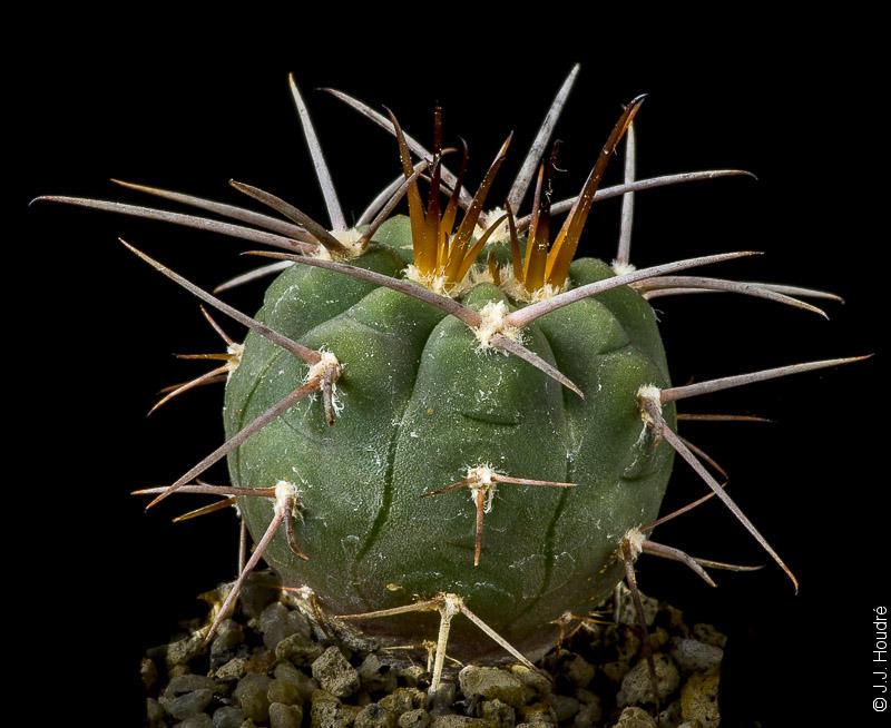 Gymnocalycium spegazzinii ssp spegazzinii RFPA 96-01.
