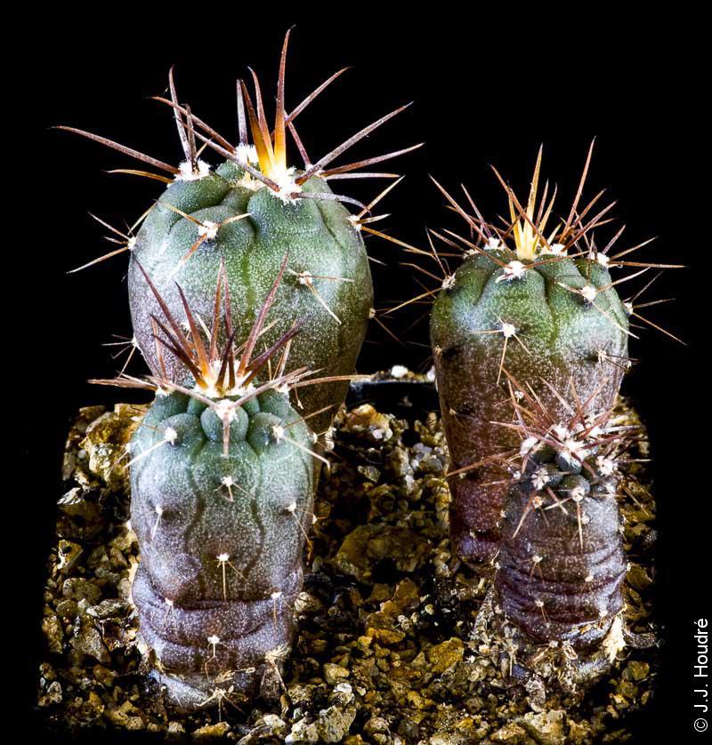 Gymnocalycium spegazzinii ssp spegazzinii RFPA 60-02.
