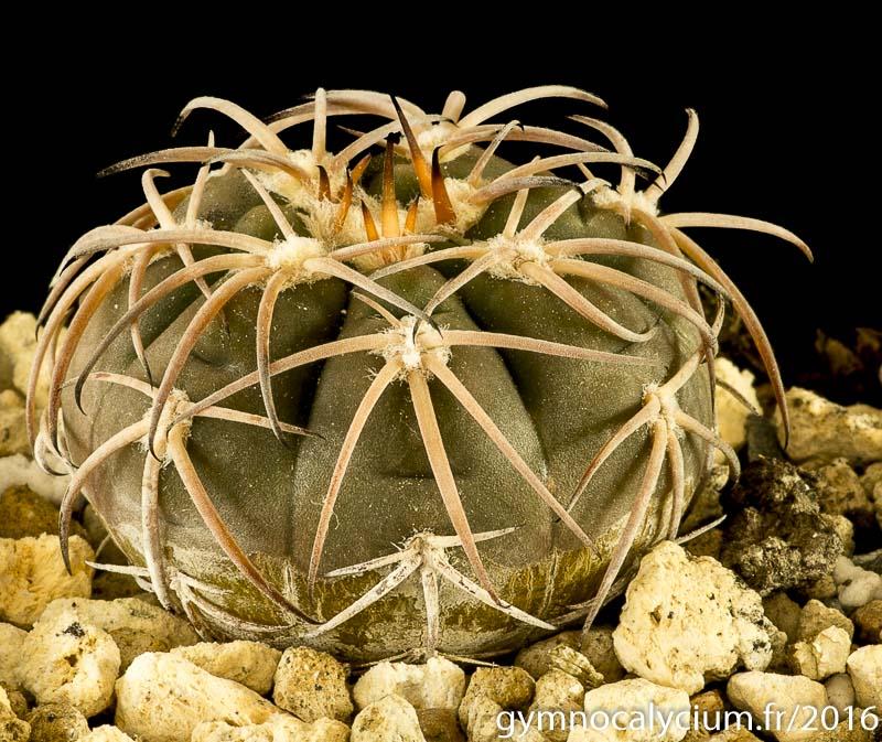 Gymnocalycium spegazzinii v. punillense VS 79. Même sujet à 8 ans