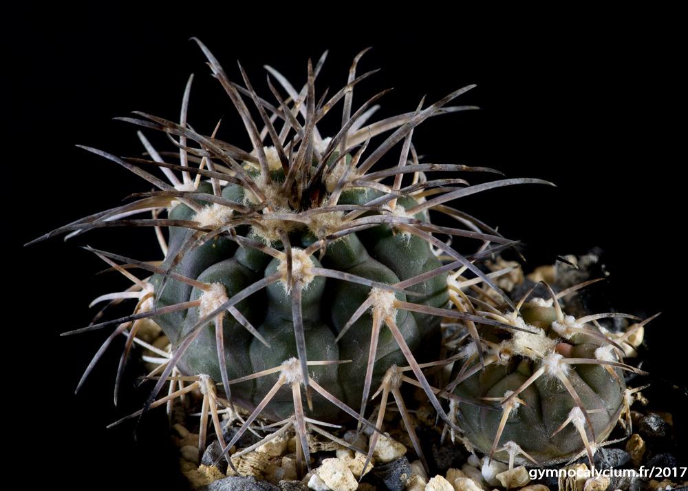 Gymnocalycium spegazzinii ssp sarkae LF 68