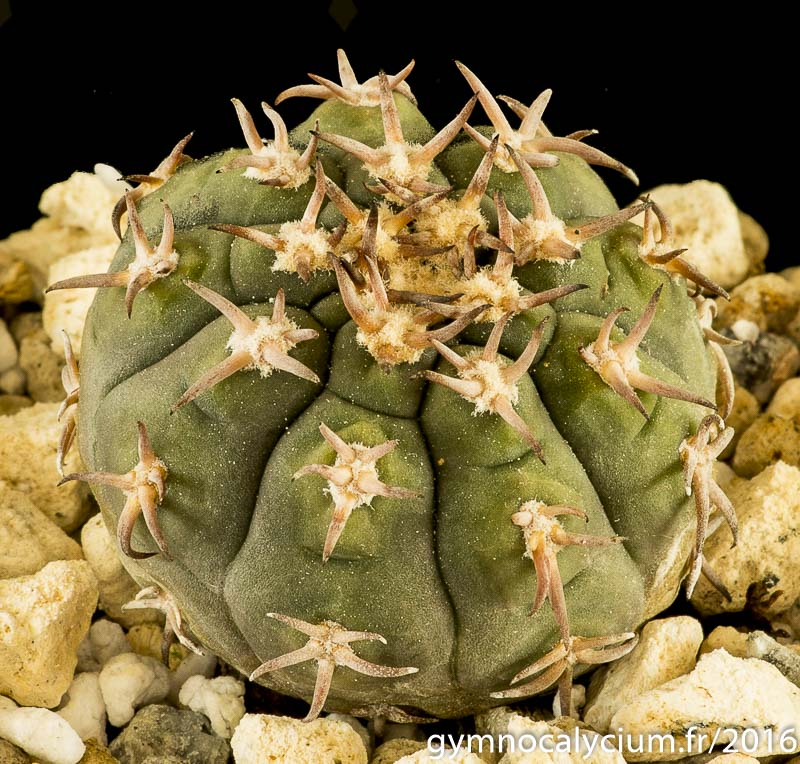 Gymnocalycium spegazzinii v. unguispinum SL 44b. Même sujet à 9 ans