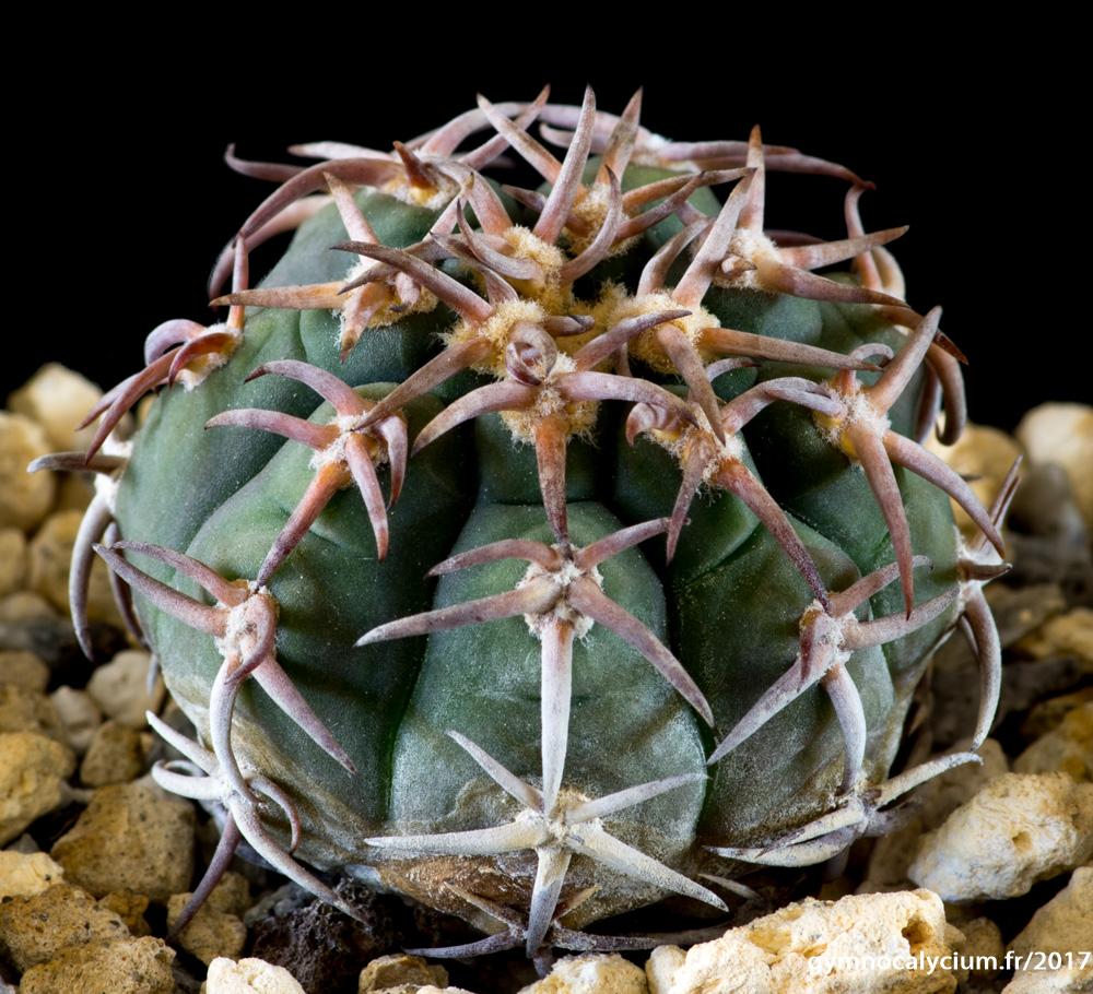 Gymnocalycium spegazzinii v. unguispinum SL 44b.