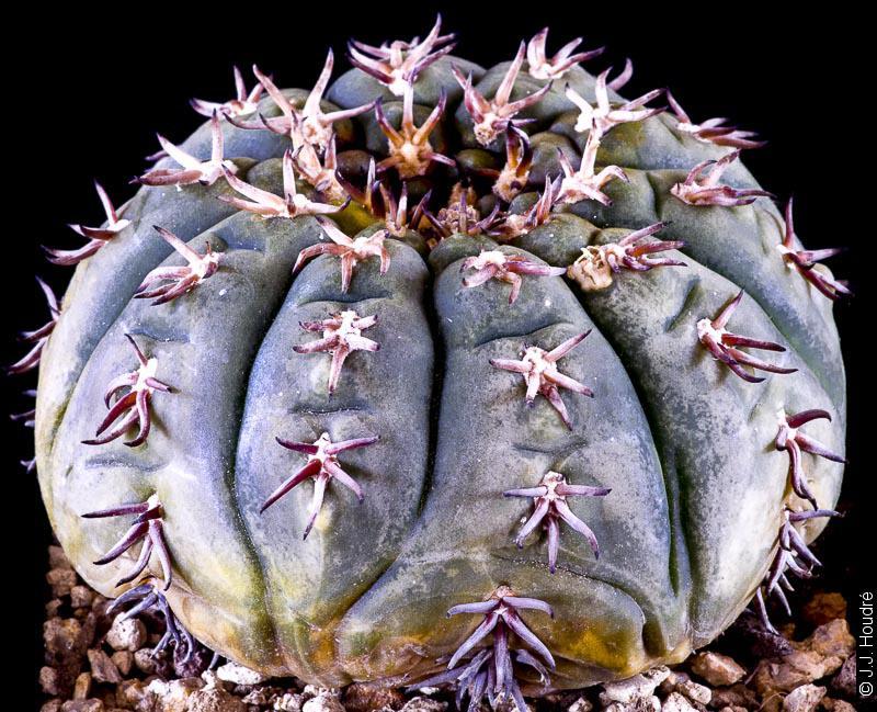 Gymnocalycium spegazzinii ssp spegazzinii f. unguispinum.
