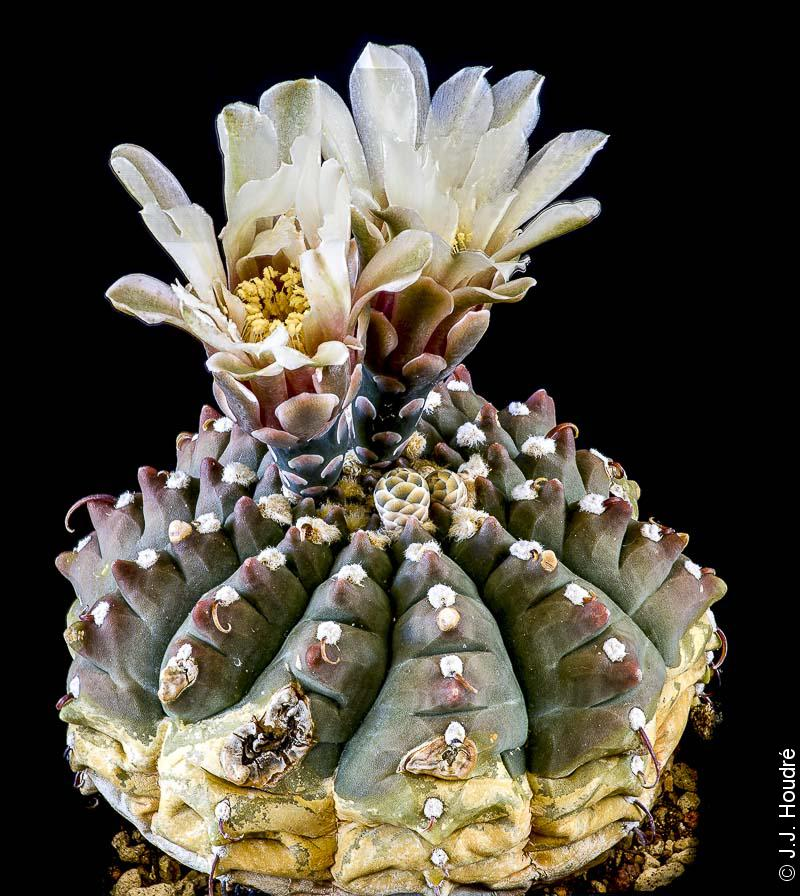 Gymnocalycium quehlianum (stellatum).