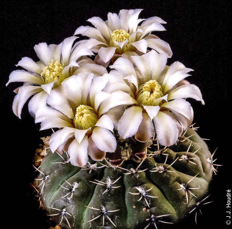 Gymnocalycium bodenbenderianum (stellatum ssp occultum)