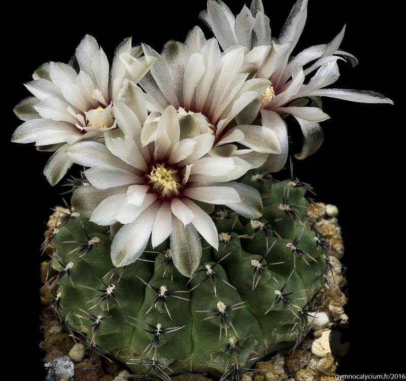 Gymnocalycium stellatum v. zantnerianum LB 1137. Sierra de Macha, 600 m, Cordoba, Argentine. <br />Sujet de 9 ans issu d'un semis de graines L. Bercht, réf. : 2007/2259