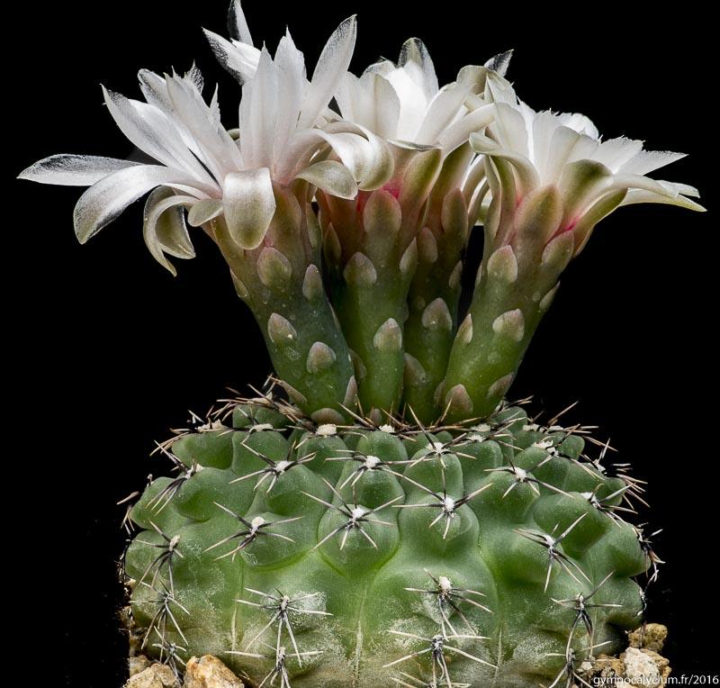 Gymnocalycium stellatum v. zantnerianum