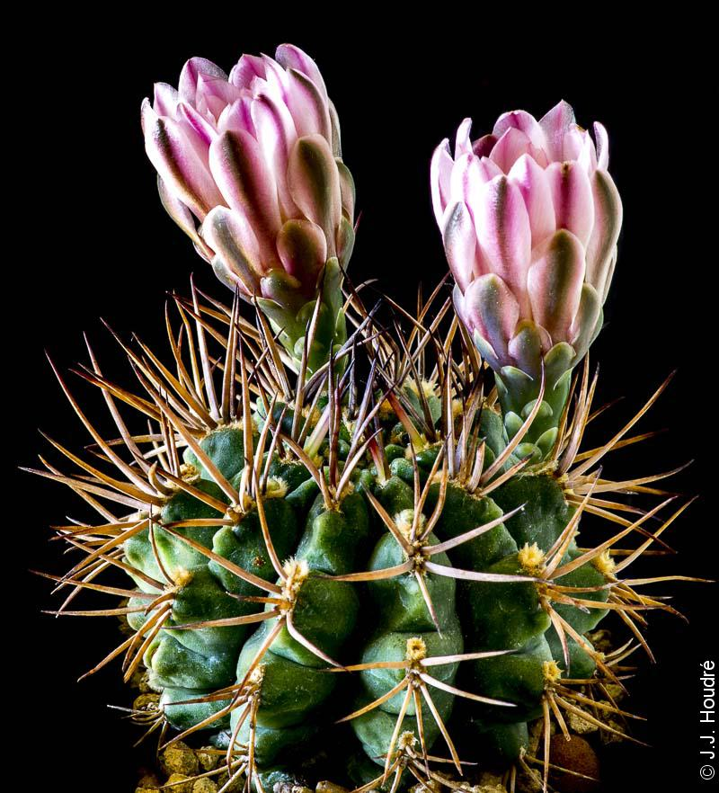 Gymnocalycium stuckertii