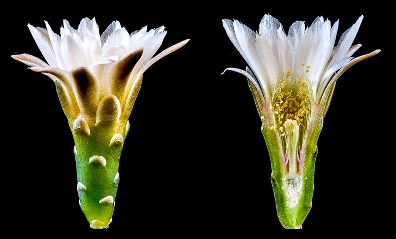 Gymnocalycium taningaense P 212