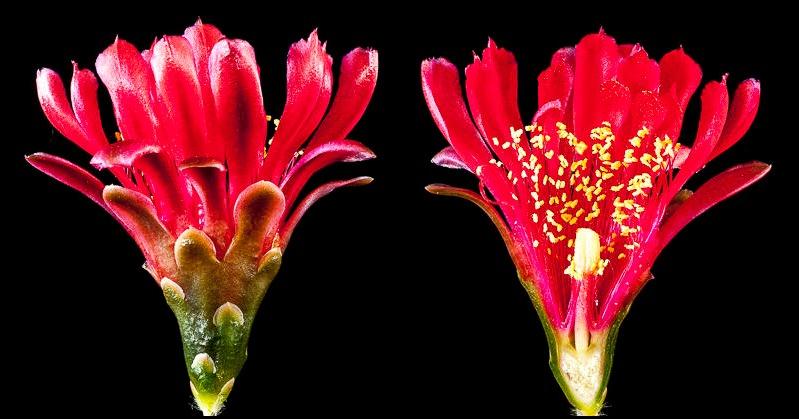 Gymnocalycium tillianum WR 227. Coupe longitudinale d'une fleur