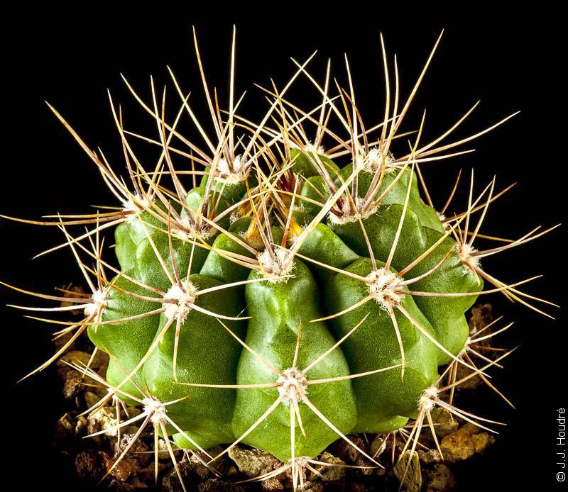 Gymnocalycium mostii ssp valnicekianum (tobuschianum)