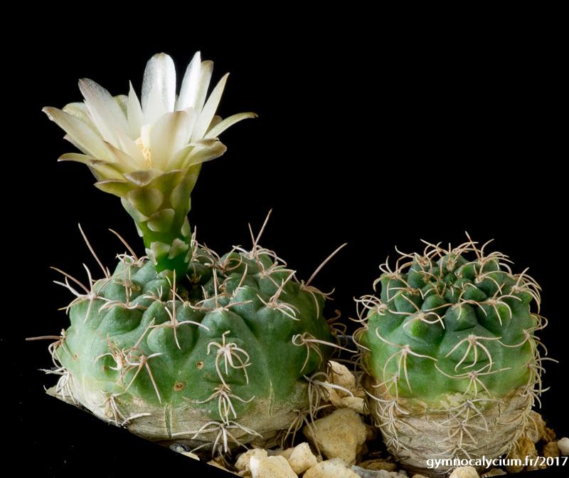 Gymnocalycium uebelmannianum