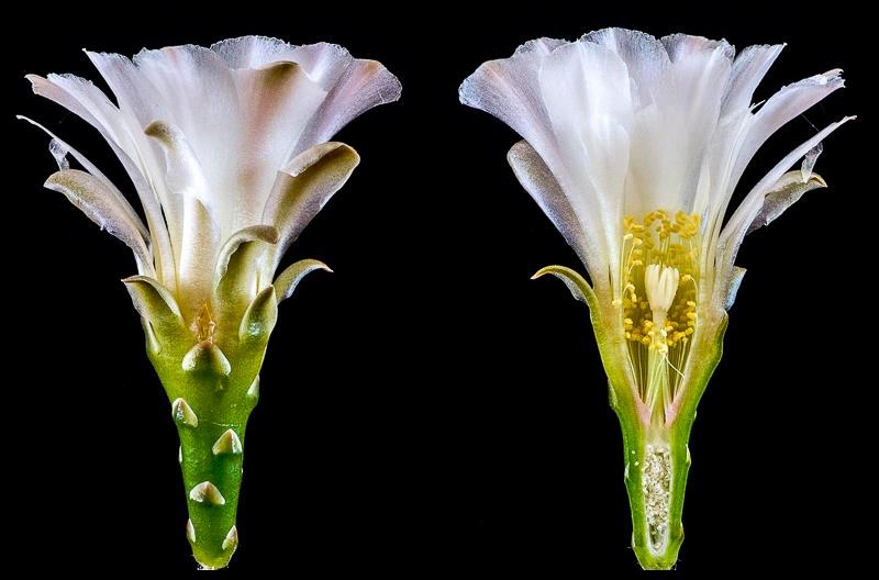 Gymnocalycium vieditzianum.