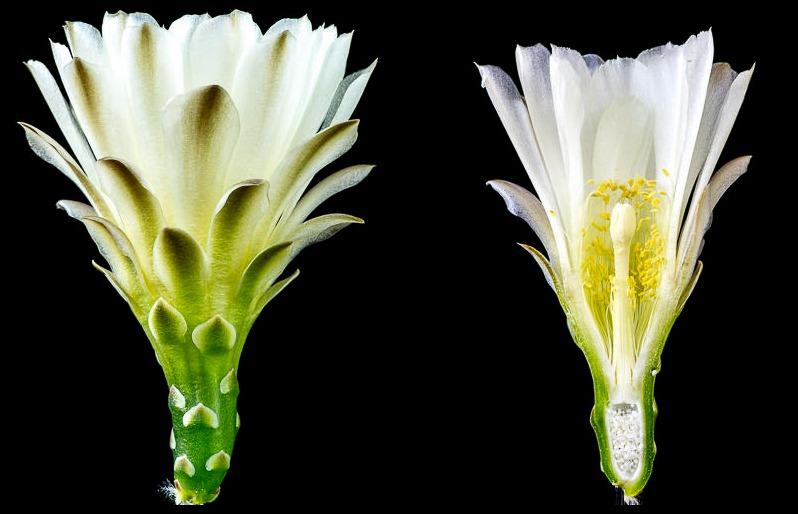 Gymnocalycium wagnerianum.