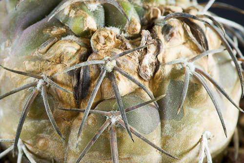 Maladies : attaques fongiques sur Gymnocalycium spegazzinii